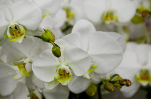 White Orchid in the LA Flower District